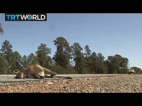 be7f39be980a6 Australia Drought  Australia s stricken animals end up as roadkill ...